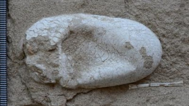 This is one of five three-dimensionally preserved pterosaur eggs of the gliding reptiles that were uncovered in an arid region of northwestern China.