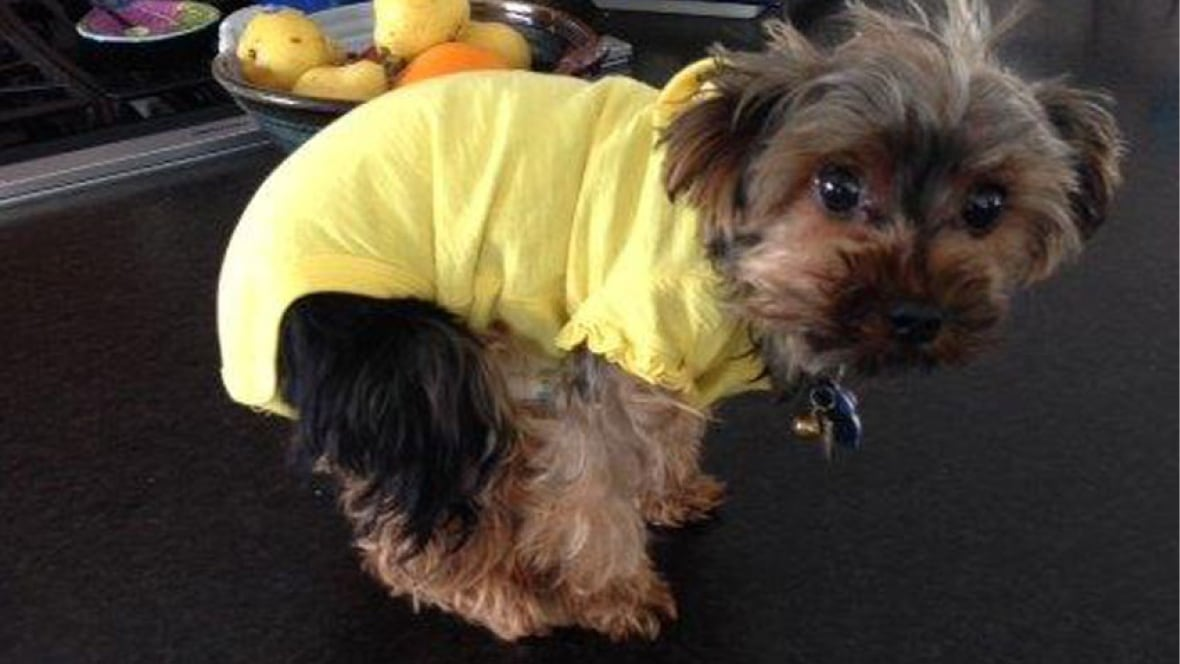 Yorkshire Terrier Kidney Failure Costco keeps selling t...