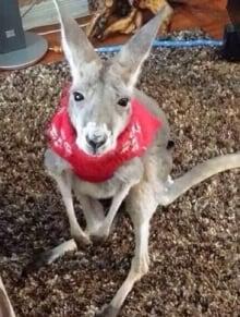 Mirka kangaroo