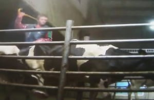 Dairy farm employee whipping cow
