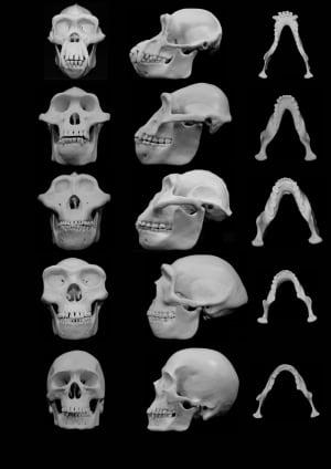 Hominin skulls
