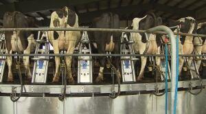 Chilliwack Cattle Sales milking barn