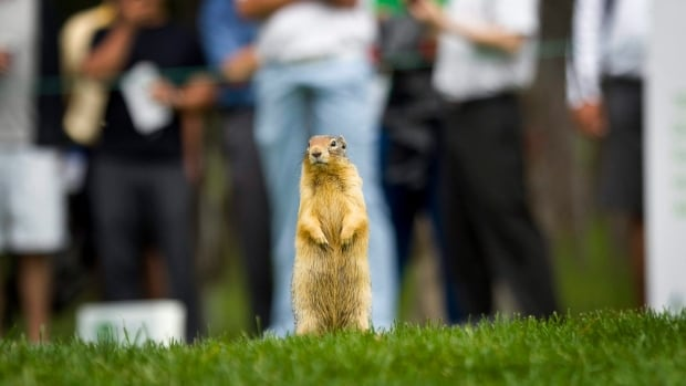 The City of Winnipeg puts poison pellets in the holes of Richardson's ground squirrels (like the one shown here) in an effort to kill them and reduce the number of holes they create in city parks. A University of Manitoba researcher says the practise is inhumane.