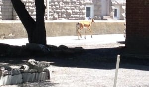 Deer spotted in Sandy Hill (June 15, 2014)