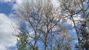 defoliated trees