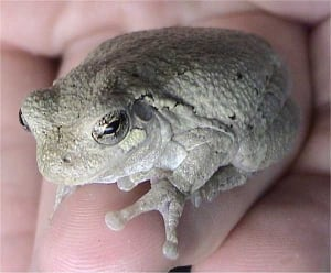 Gray Tree Frog skpic