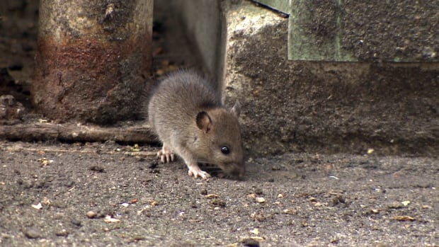 Vancouver compost rats overrun daycare playground
