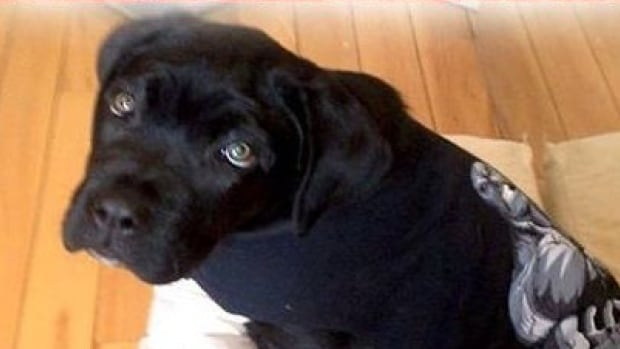 Police say the five-month old, male, black Cane Corso was stolen from his owner by a man who claimed online to be a professional dog trainer.