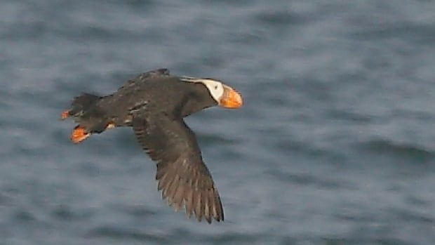 Machias Seal Island lighthouse keeper Ralph Eldridge photographed a tufted puffin on the island.