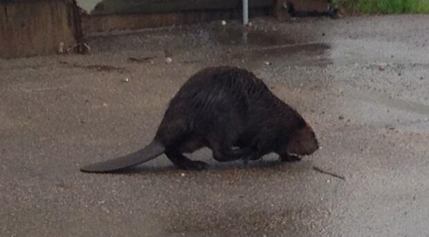 Beaver in Watrous, Sask. skpic
