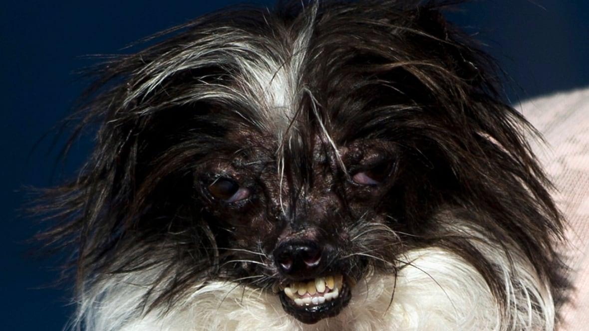 World S Ugliest Dog Contest 2014 World Cbc News