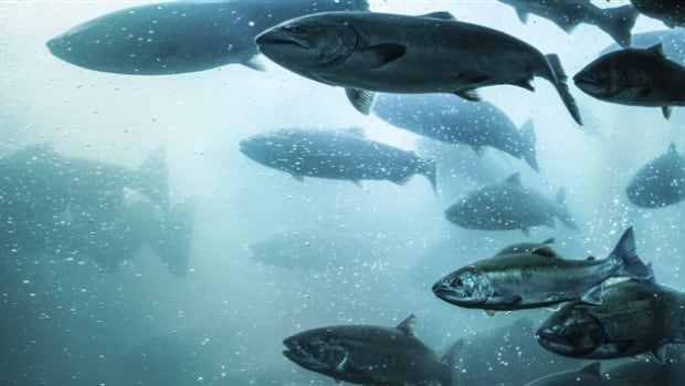 The B.C. Salmon Farmers Association says B.C.'s aquaculture industry is the province's largest agricultural export.
