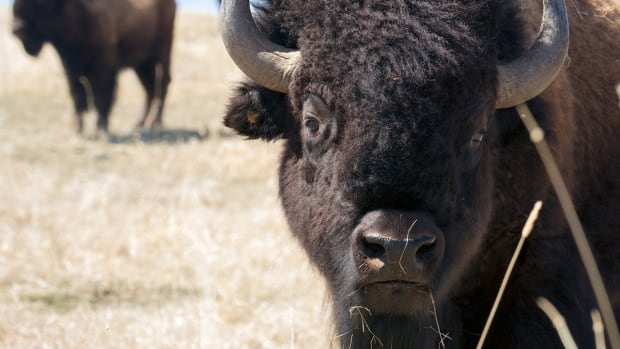 A Heatherton woman says her dream of setting up a bison farm in Robinsons on the west coast of Newfoundland has almost come true, as she waits for details to be finalized to construct the farm itself.