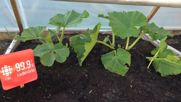 Morning North Giant Pumpkin plants