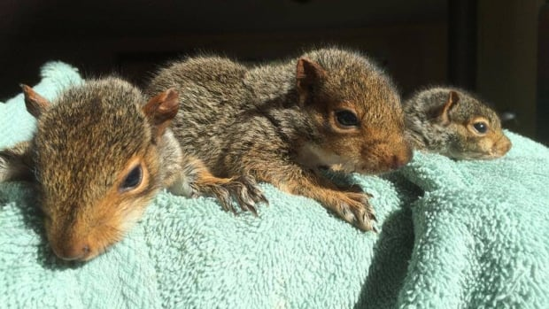 Three orphaned baby squirrels are now at the Atlantic Wildlife Institute.