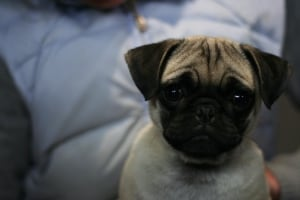 A pug David DiCarlantonio helped dehumanize