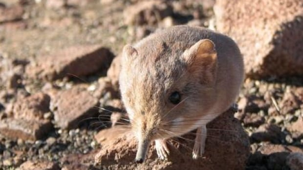 The California Academy of Sciences tweeted this photo of a Macroscelides micus elephant shrew found in the remote deserts of southwestern Africa.