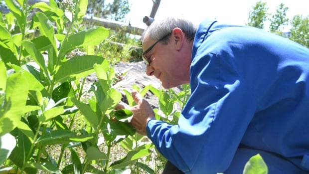 Dan Chaput, a staff scientist at Science North in Sudbury, examines some milkweed being nurtured on the property to attract monarch butterflies.