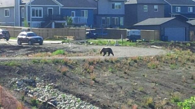 A grizzly bear has been spotted near Cochrane's Fireside community.