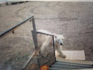 2-charlotte-nochasak-polar bear-june-26-2014