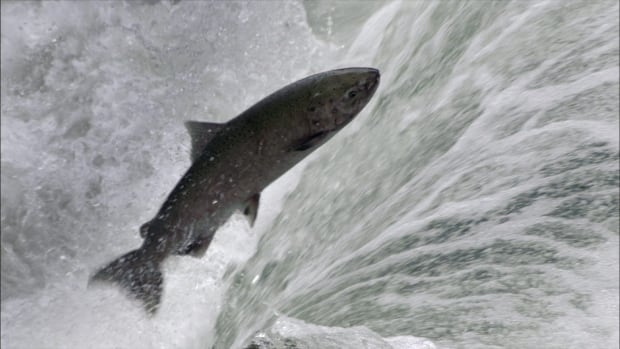 A new study has found that 98 per cent of chinook salmon will be gone by 2100 if climate change warms the water.
