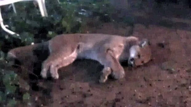 Port Moody Police shot and killed a large cougar Monday night after it wandered into a residential neighbourhood.