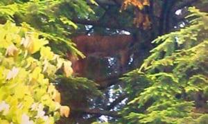 bc-140701-cougar-tree
