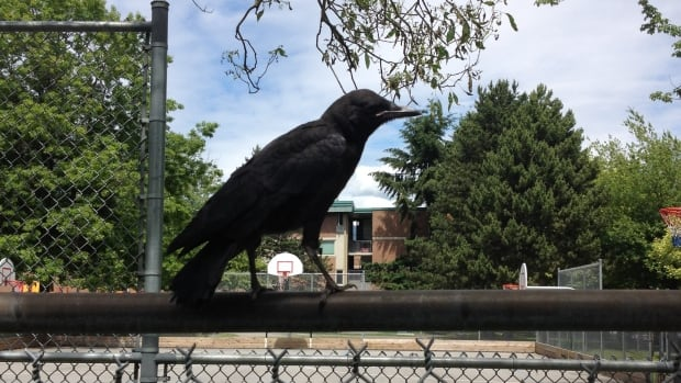 Crows are more likely to attack during nesting season, which runs from early April to early July.