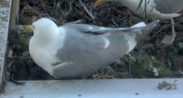 Watch the #CBCgull nesting webcam from our broadcast centre roof