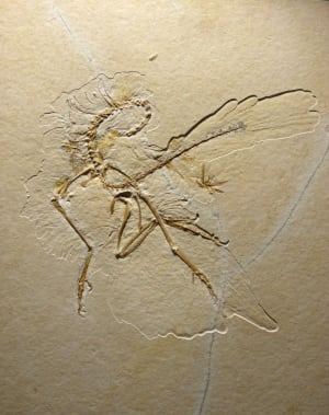 Archaeopteryx-whole-fossil