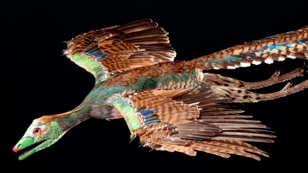 An artist's reconstruction based on the fossil shows that contour feathers — the basic vaned, quill-like feathers of a bird — covered Archaeopteryx's entire body up to the head as in modern birds.