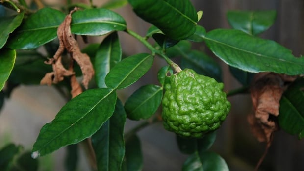 "A campaign is pushing to get the name of this lime changed to ""makrut."""