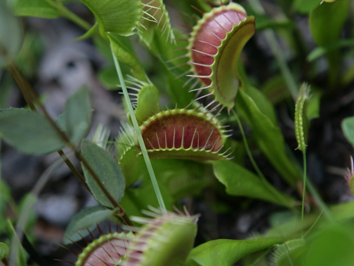 Carnivorous plants eat away fruit fly infestations | CBC News