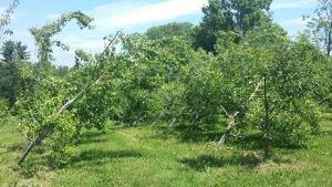 Pear trees