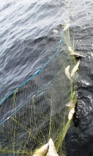 dead fish caught in net
