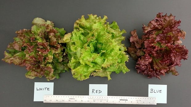 Red leaf lettuce grown under different light regimes in the University of Guelph's Controlled Environment Systems Research Facility produced leaves of different colours and tastes.