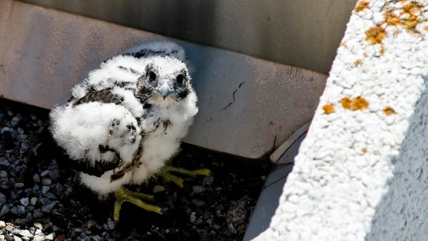 The female chick was named Salveo — Latin for 'to be well' — and has been declared very healthy, according to Lakeridge Health.