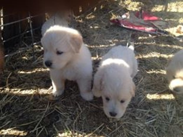 Pyreneese puppies