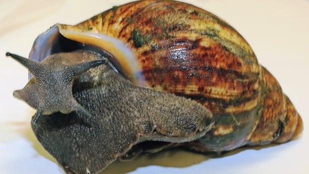 Giant snails are a culinary delicacy in many regions throughout West Africa, but can be invasive agricultural pests when introduced into new ecosystems.