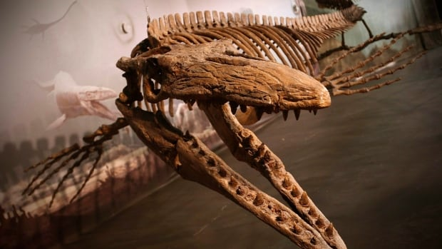 Bruce the mosasaur was found in Thornhill, just outside Morden, Man., in a farmer's field in 1974. The now-extinct sea reptile is on display in Manitoba and considered the largest in the world.