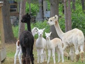 Espanola Alpaca Farm