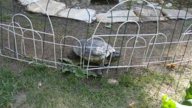 Shelly the turtle is home safe in her summer backyard pond in Hay River, N.W.T. after a neighbour spotted her crossing a nearby street. An expert had warned of a possible ecological disaster when she escaped three weeks ago.