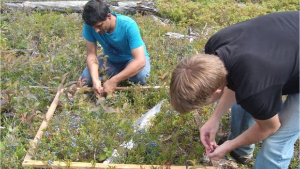 Lakehead University researchers collecting blueberries.