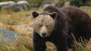 Grizzly attack leaves B.C. forestry worker with significant injuries