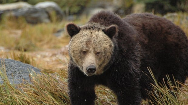 A grizzly bear roams near the Koeye River on B.C. 's Central Coast in this file photo.