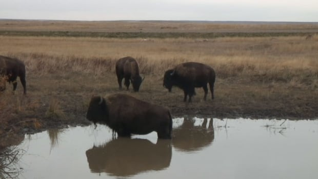 Bison at a watering hole in Grasslands National Park.