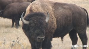 bison webcam