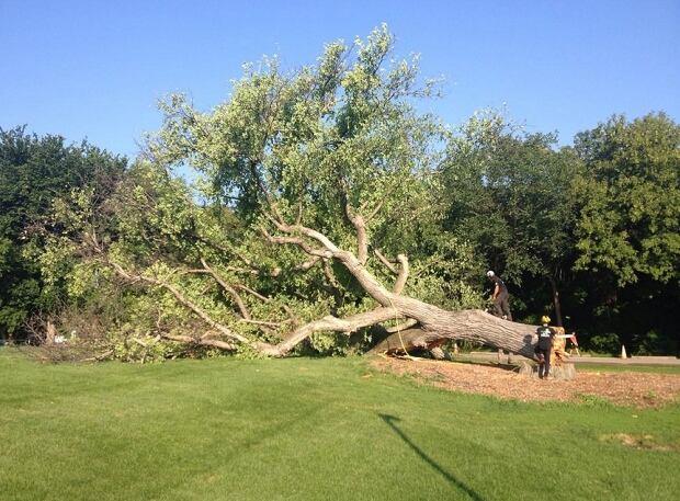 Old tree cut down