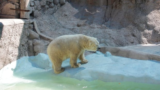 In this March 20, 2014 photo released by Greenpeace, Arturo, a 28-year-old polar bear, walks inside his concrete enclosure at the zoo in Mendoza, Argentina. Despite a petition by hundreds of thousands of people asking for Arturo's relocation to a zoo in Winnipeg that has accepted the polar bear's transfer, the Mendoza Zoo Director said Tuesday that Arturo, will remain in Argentina. (AP Photo/Greenpeace, Delfo Rodriguez)