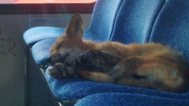 An OC Transpo worker discovered this fox sleeping on an Ottawa city bus.